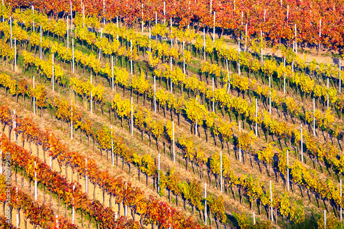 Foto op Canvas Oranje Rows of vineyard grape Vines. Autumn landscape with colorful vineyards. Grape vineyards of South Moravia in Czech Republic. Nice texture or background