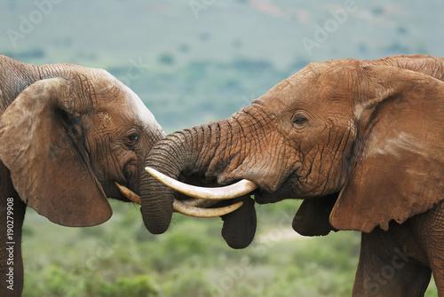 afrykanskie-slonie,-loxodonta,-poludniowa-afryka