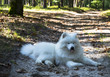 white spitz lies in the forest with his tongue out.