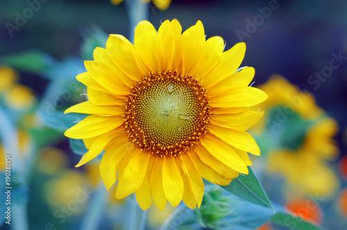 sunflower-with-sun-beaming-light