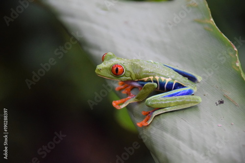 Fotobehang Kikker Red-eyed Tree Frog, Costa Rica