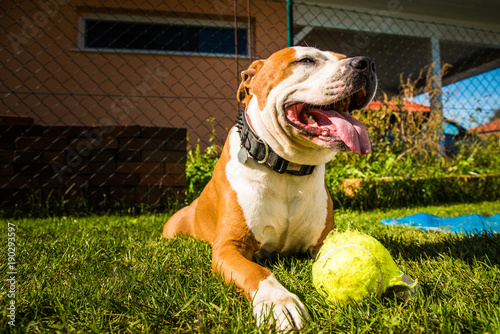 Staffordshire Terrier Amstaff dog in a garden with a ball