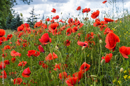 Fotobehang Klaprozen Field full of red poppy flowers