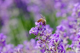 bee collection pollin in a lavender flower - 190306737