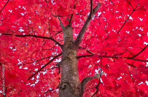 jasne-czerwone-drzewa
