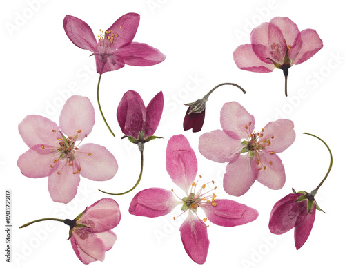 Foto Murales Pressed and dried flowers of apple, isolated on white
