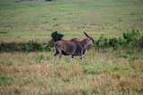 Eland in Masai Mara National Park Kenya