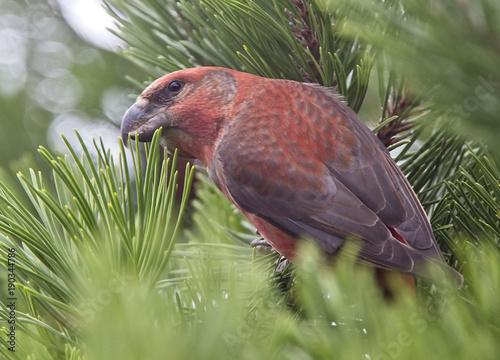 Fotobehang Papegaai Parrot Crossbill (Loxia pytyopsittacus), male, Shetland, Scotland, UK.