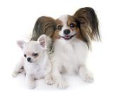 papillon dog and chihuahua - 190346924