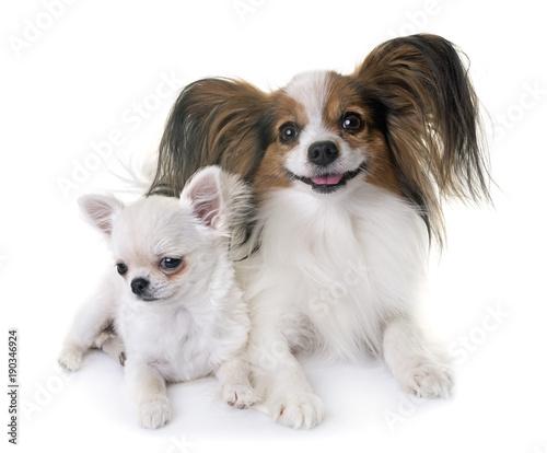 papillon dog and chihuahua