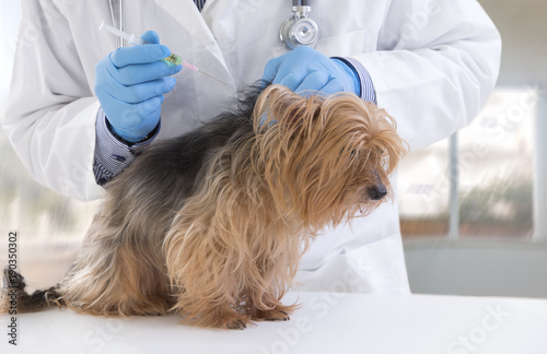 Vet giving an injection to a Yorkshire terrier in luxery pet hospital background