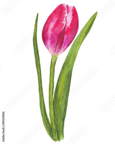 pojedynczy-akwarela-tulipan-na-bialym-tle