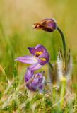 spring flower Pulsatilla pratensis (small pasque flower)