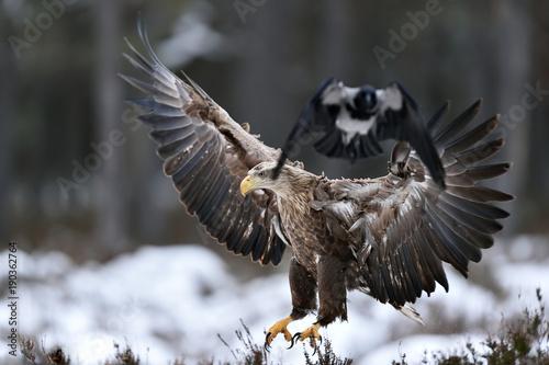 Fotobehang Eagle White tailed eagle landing, birds escape