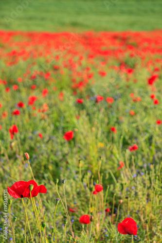Foto op Canvas Pistache A Poppy Field
