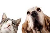 Basset hound dog and kitten on white background