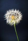Dried dandelion head against black background