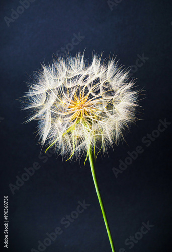 Fotobehang Paardenbloemen Dried dandelion head against black background