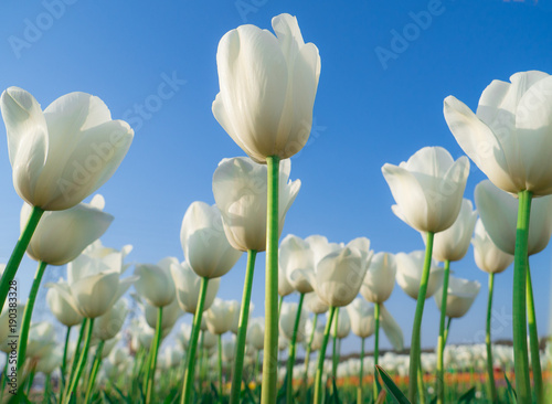Fotobehang Tulpen Field of white tulips in Sakura city, Japan.