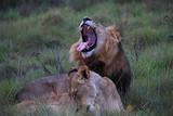 Löwe und Löwin - 190408122