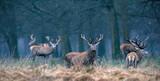 Red deer stag in hig...