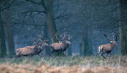 Herd of red deer stag walking from field into winter forest.