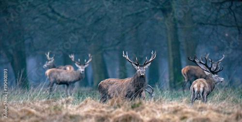 Fotobehang Hert Red deer stag in high yellow grass looking towards camera.