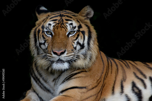Plexiglas Panter Close-up bengal tiger and black background.
