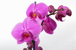 Purple Orchid Phalaenopsis isolated on white background