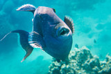 Blue Trigger fish close up portrait on coral reef. - 190423703