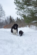 Two Newfoundland dogs in the snow