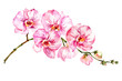 Pink moth orchid (Phalaenopsis) flower on a twig.  Isolated on white background.  Watercolor painting.