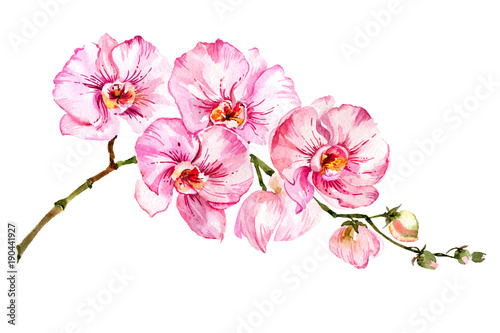 Pink moth orchid (Phalaenopsis) flower on a twig.  Isolated on white background.  Watercolor painting. © katiko2016