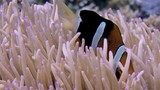 Clark's anemonefish (Amphiprion clarkii) peeking out of its host anemone, WAKATOBI, Indonesia , slow motion - 190442364