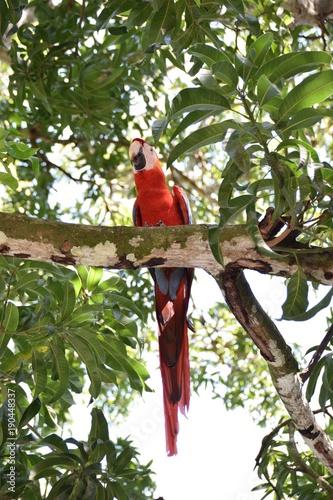 Fotobehang Papegaai Scarlet Macaw, Costa Rica