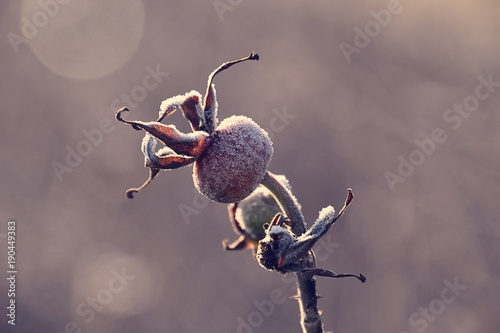 wild rose berries covered with frost in the morning light