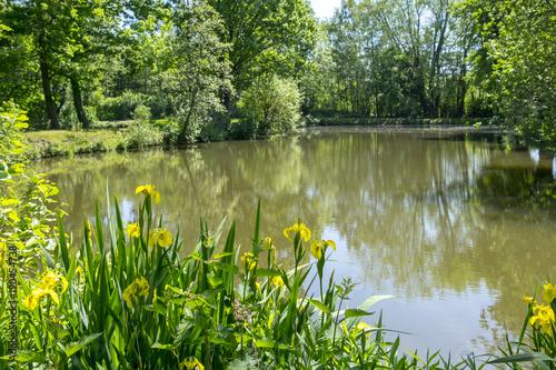 Leinwanddruck Bild Sumpf-Schwertlilie (Iris pseudacorus) an einem Teich