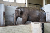 Big old Asian elephant at the zoo cage. - 190479344