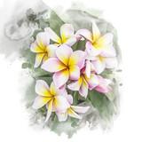 Blossom plumeria flower.