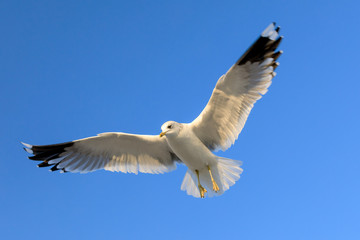 closeup of a flying seagull (laridae)