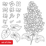 Vector set with outline Lilac or Syringa flower, ornate leaves and bunch in black isolated on white background. Blossoming garden plant Lilac in contour style for spring design and coloring book. - 190512920