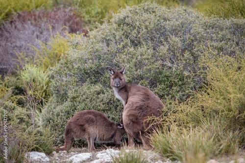 Fotobehang Kangoeroe Mutter und Baby Kängurus in freier Natur, Kangaroo Island, Australien