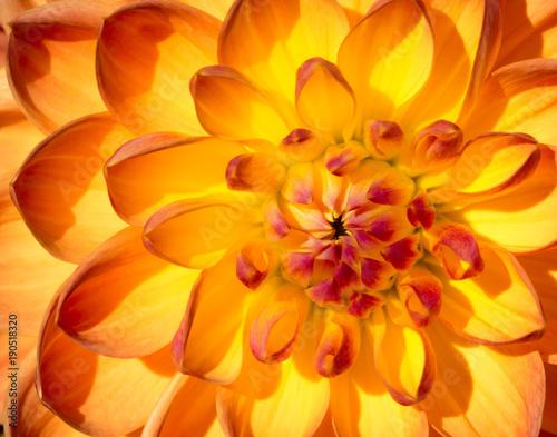 Orange chrysanthemym