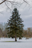 High blue spruce in winter, in the woods