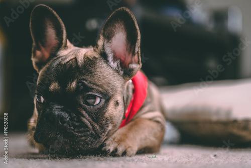 Foto op Plexiglas Franse bulldog cheeky