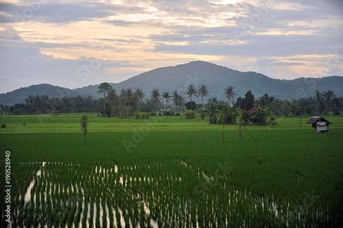 rice plantation on the island of Lombok (Indonesia)
