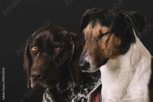 Sleepy dogs at home Poster