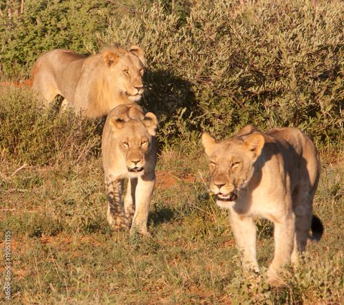 Fotobehang Lion Lioness group walking through the bush, South Africa