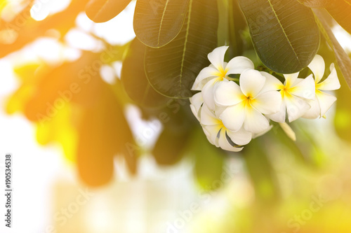Fotobehang Plumeria White Plumeria flowers have a good scent and beautiful look when it is touched by the morning light. So it is very popular to grow plumeria tree for decoration in the tropical garden.