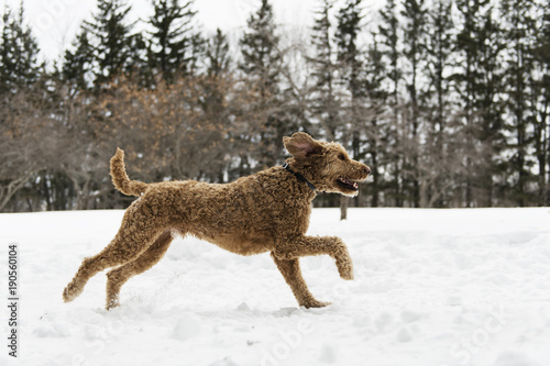 Goldendoodle in the snow season of winter Poster